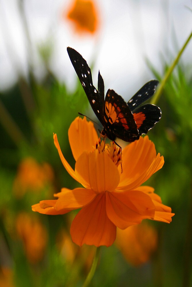 Butterfly by Ciaran Sidwell