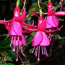Fuchsia group of pink. by Bev Pascoe