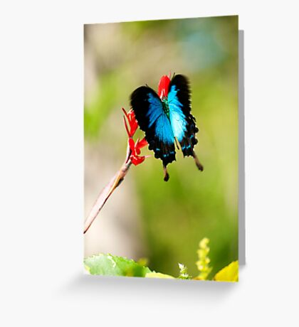 Gotchya - Ulysses Butterfly Greeting Card