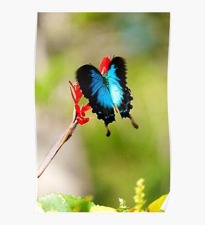 Gotchya - Ulysses Butterfly Poster
