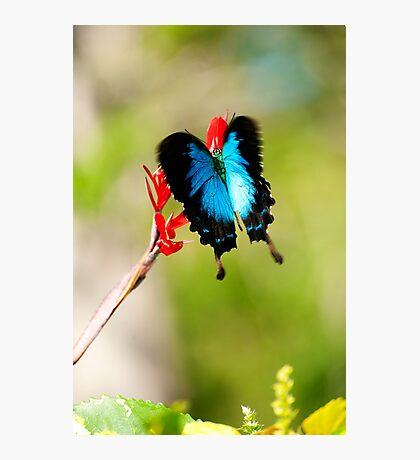 Gotchya - Ulysses Butterfly Photographic Print