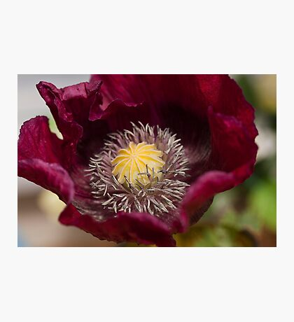 Wine Poppy Photographic Print