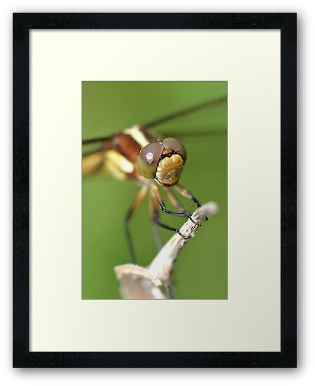 Spangled Skimmer. by William Brennan