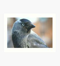 Jackdaw (Corvus monedula) Art Print