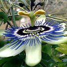 Passion Flower by Merice  Ewart