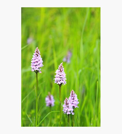 SPOTTED ORCHID Photographic Print