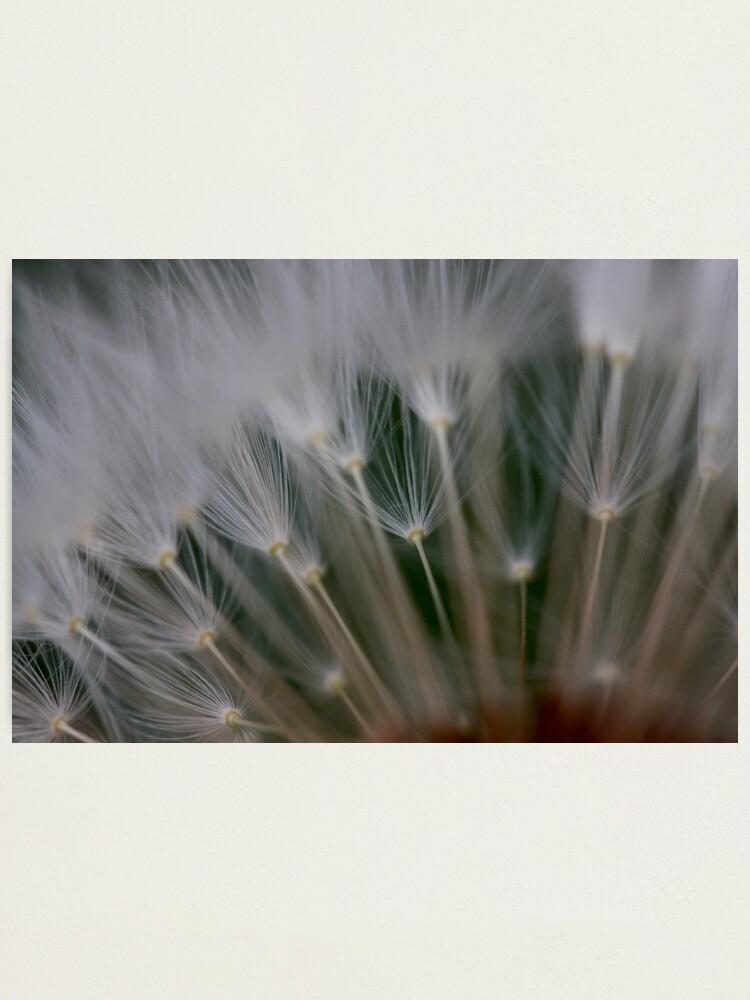Alternate view of dandelion's secret 2 Photographic Print