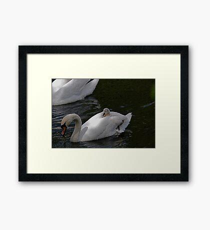 New Family Swan.- more 2 - Piggy Back Framed Print