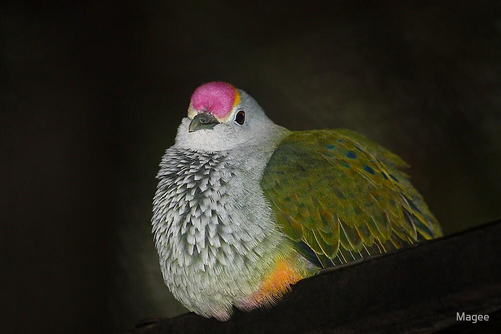 Rose-crowned Fruit Dove  (Ptilinopus regina),  by Magee