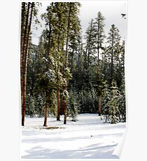 Lodgepole Pine Forest Poster