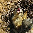 Sunbathing is such hard work-meerkat yawn by Eileen O'Rourke