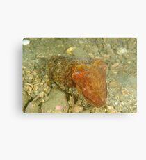 Juvenile Giant Cuttlefish - Sepia apama Metal Print