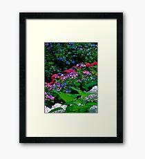 Hydrangeas in Wellington Botanic Gardens Framed Print