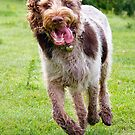 Four Feet Off The Ground Spinone by heidiannemorris