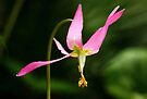 Pink Fawn Lily by EchoNorth