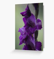 "How does velvet feel like? ... ♡‿♡....""Dancing With Tears In My Eyes"" . by Andrew (Brown Sugar) . Gladiolus Blue Isle  ! Views (848)   Super Ok! Fresh !!! Featured ! Greeting Card"