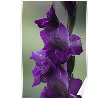 """How does velvet feel like? ... ♡‿♡....""""Dancing With Tears In My Eyes"""" . by Andrew (Brown Sugar) . Gladiolus Blue Isle  ! Views (848)   Super Ok! Fresh !!! Featured ! Poster"""