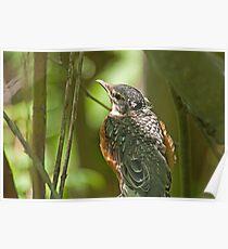 American Robin Fledgling (Turdus migratorius jr) Poster