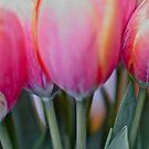 Red & pink tulips, by Brown Sugar. Views (579) Thank you very much ! Muchas gracias ! Большое спасибо ! Dziękuję !  by © Andrzej Goszcz,M.D. Ph.D