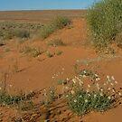 Simpson Desert Flowers by Liz Worth