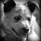 Sophie the blueheeler. by Cathie Trimble