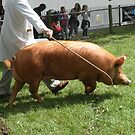 Staffordshire County Show - Pig by karenkirkham