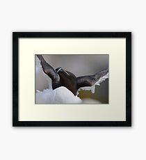 Razorbill, Saltee Islands, County Wexford, Ireland Framed Print
