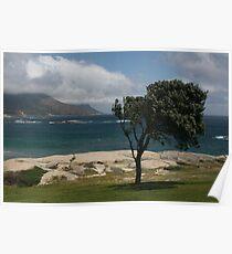 Windswept tree, Kempston, Cape Town Poster