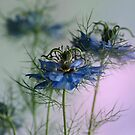 Nigella by hampshirelady