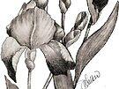 Iris Illustration-1 by plunder