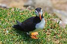 Puffin, Saltee Island, County Wexford, Ireland by Andrew Jones