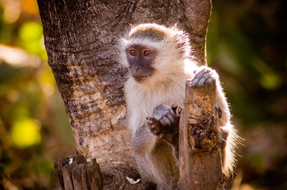 Malawian Monkey by Tim Cowley