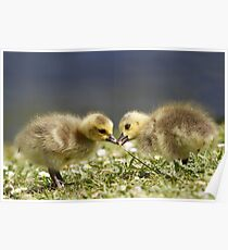 Canda geese chicks Poster