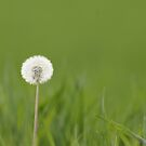 Dandelion in the green by Yves Roumazeilles