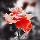Romantic Rose Flowers by Nhan Ngo