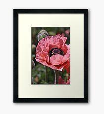 Pink poppy Framed Print