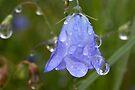 Plant, Harebell, Campanula rotundifolia, Raindrops, by Hugh McKean