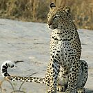Young confident adult leopard! by jozi1