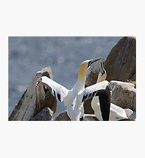 Welcome home, gannets, Saltee Island, County Wexford, Ireland Photographic Print
