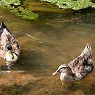 Ducks on a Pond by DebbieCHayes