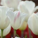 White Tulips in Spring by wishgirl
