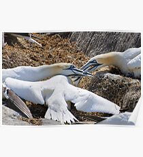 Territorial tussle, gannets fighting, Saltee Island, County Wexford, Ireland Poster