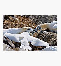 Territorial tussle, gannets fighting, Saltee Island, County Wexford, Ireland Photographic Print