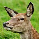 Red Deer Profile by AnnDixon