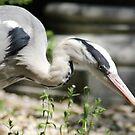 Grey heron on strike by Marcel van Ommeren