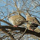 Crested Pigeon by Robert Abraham