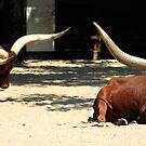 Cattle of kings by Marcel van Ommeren