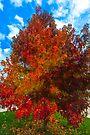 Sugar Maple Fall by photosbyflood