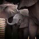 African Elephant Baby by Samantha Cole-Surjan
