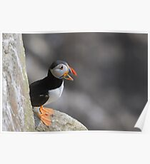 Puffin on a ledge, Saltee Island, County Wexford, Ireland Poster
